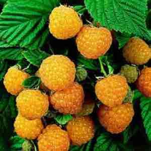 fall gold raspberry