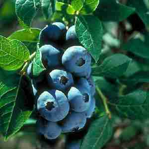 chippewa blueberry