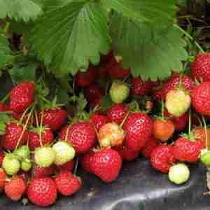 kent strawberry