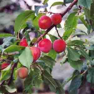 tecumseh plum
