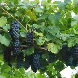 valiant grapes