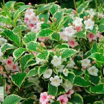 nana variegated weigala