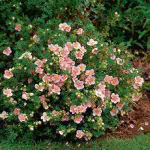 pink beauty potentilla