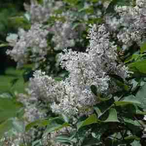 villoso lilac
