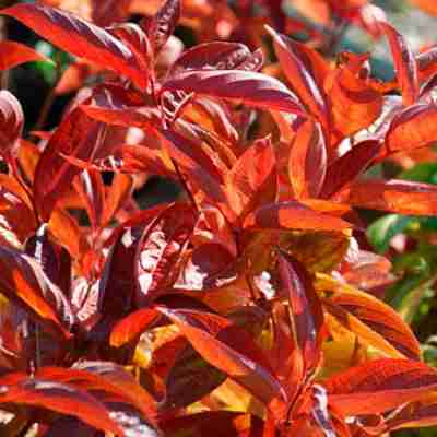 wings of fire weigela