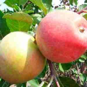 gemini apple