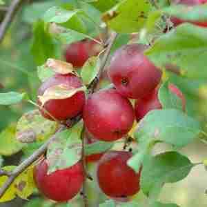 kerr apple