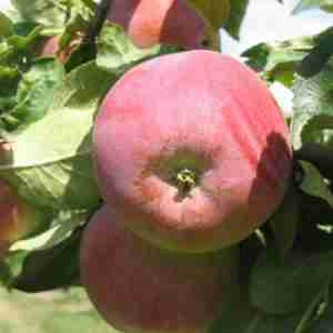 wintercheek apple